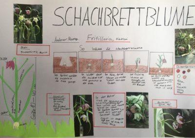 Lernplakat Schachbrettblume Jola